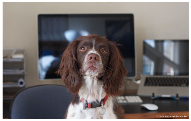 Photograph of our Springer Spaniel, Jess. Jess has a brown face, ears and nose, with a white muzzle and chest. She is wearing a red collar and sitting on a blue office chair, with a desk and computers in the background.