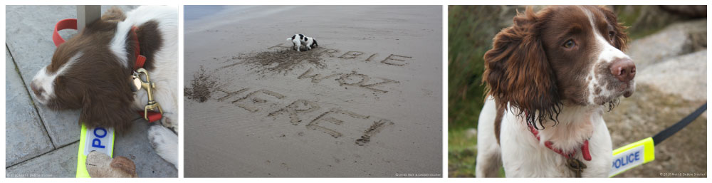 "Three photographs of Herbie, a brown and white English Springer Spaniel. From left to right: Herbie as a small puppy, fast asleep with a fluorescent police tag visible underneath him and a red lead; Herbie digging on a sandy beach with the words '""HERBIE WOZ HERE!"" drawn in the sand; Herbie at around 6 months of age, standing looking to the right of the camera, with a rock and grass in the background, wearing a black lead with a fluorescent police tag."